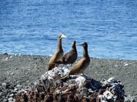 <西之島>海鳥の繁殖確認…噴火後初上陸・環境省報告