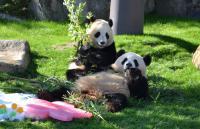 <ジャイアントパンダ>桜浜と桃浜、2歳の誕生日会 和歌山
