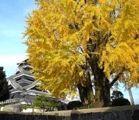 <熊本城>大イチョウ色づく 立ち入り禁止で市民は見られず