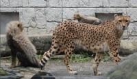 <多摩動物公園>チーター世代交代 3頭誕生、キキョウ死ぬ
