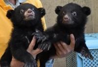 <須坂市動物園>ツキノワグマ兄妹ケンとメリー早くも人気者
