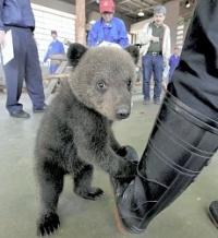 <ヒグマ>のぼりべつクマ牧場 赤ちゃん2頭「よろしくね」