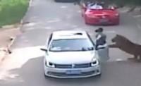 <続報>襲ったトラはどうなった?中国のサファリパークの死傷事故、客の勘違いが原因の可能性=重傷の女性は一命取り留める