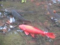 公園の鯉を捕まえて売るちゃっかり市民、食べると実は大変なことに!―中国