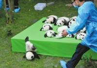 赤ちゃんパンダの転がり落ちた写真が「世界で最も素晴らしい写真」に―中国紙