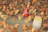 """韓国、鳥インフルエンザで殺処分の鳥""""日本の28倍""""違いはどこに?=「先進国と後進国の違い」「学ぶべきところは学ばねば」―韓国ネット"""