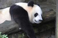 米国生まれのパンダ、中国語の指示や中国のビスケットを嫌がる=中国ネット「パンダですら中国は嫌なのか」