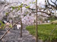 <ボイス>日本での花見が私の夢だ、中国人は日本の桜に憧れ酔いしれる