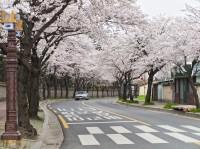 「桜祭りは日本の名残り、春の花祭りに変更を」韓国議員が主張=韓国ネットは反発「桜を桜と呼ぶこともできない?」「おでんの別バージョンだ」