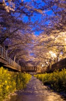 韓国の人々を「春嫌い」にさせてしまう残念な桜祭り=韓国ネット「まずは市民意識を育てないと」「日本を非難する前に見習おう」
