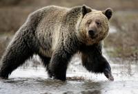 イエローストーン国立公園で死んだクマ、大半の要因は「人間」