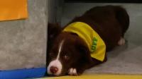 子犬たちの「パピーボウル」、今年は障害持つ3匹も参加