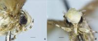 新種の蛾にトランプ氏の名前、頭部の形状が髪型にそっくり