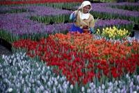 オランダのチューリップ農家、満開の花を刈って夏に球根収穫へ