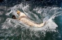 シベリアの動物園にも春、ホッキョクグマ「オーロラ」がプールに