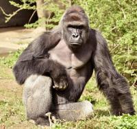 米動物園、囲い侵入の男児救助のためゴリラを射殺 是非問う声も