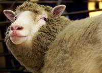 クローン羊たちは健康に加齢、英大学などが調査