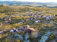 ノルウェーの高原で落雷、トナカイ323頭が死ぬ