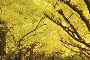中国原産なのに!「日本のイチョウ並木は異常なほど美しい」=中国メディア
