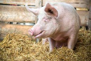養豚技術でも・・・今中国で広がっているのは、日本から入ってきた技術だった=中国メディア