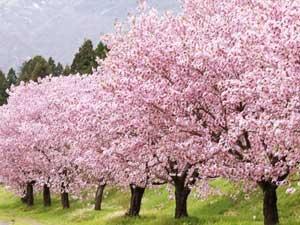 日本の「桜」は終生にわたって忘れられないほどの美しさ=中国報道
