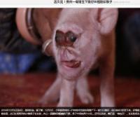 サルの顔を持つブタが中国の農家で誕生 「異種間交配実験の失敗作か」