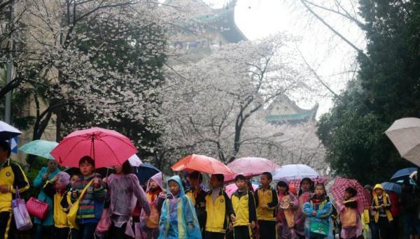 武漢大学で桜が開花、大雨にも関わらず大勢の見物客で賑わう―中国メディア