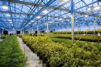 アメリカ「大麻」関連企業が上場 大麻ビジネスはアリなの?