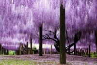 「日本の美しい風景31選」1位に選ばれた藤棚は?