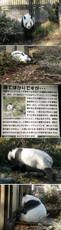 """パンダにも""""白髪""""が生えるのか?"""