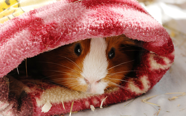 毛布にくるまれたモルモット