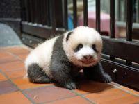 踏ん張ってはコロン 上野動物園の赤ちゃんパンダ、立ち上がるまであと少し