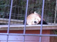 熱川バナナワニ園がレッサーパンダ天国になった理由