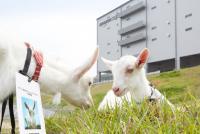 専門誌の「草刈り特集」が超マニアック ヤギVSヒツジで除草能力の強さ検証
