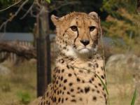 チーターの鳴き声がライオンと違ってカワイイのはなぜ?