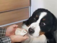 【爆笑】ハムスターを異常に怖がる犬の表情がやばい