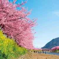 「河津桜まつり」ってどんなお祭り?