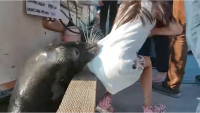 恐怖!野生のアシカが少女を水中に引きずり込む瞬間 カナダ