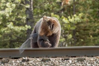 巨大熊グリズリー 鉄道レールに接近中 お目当ては何と… カナダ