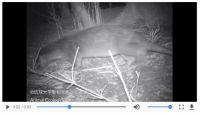 絶滅種「ニホンカワウソ」発見か 琉球大が撮影