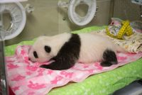 パンダらしくなったでしょ? 上野動物園のジャイアントパンダの赤ちゃん、すくすくと成長中