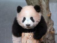 木登り上手になったでしょー 上野動物園のジャイアントパンダ・シャンシャン 生後160日に