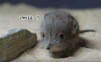 このかわいさはヤバい。ハネジネズミの赤ちゃんのぽよぽよ感がはじけすぎてて空前絶後のブームの予感