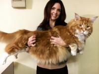またメインクーンの話をしよう。世界最長のギネス記録保持猫を超える猫がオーストラリアで発見される