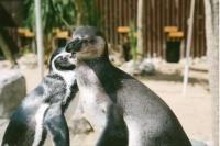 完全に取り残された・・・気が付けば周りはカップルだらけ。フンボルトペンギンが出会い系サイトで彼女募集(イギリス)