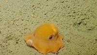 「写真苦手なんだよ~」何度見ても癒やされる、世界一可愛い深海生物メンダコはやっぱり超キュートな件