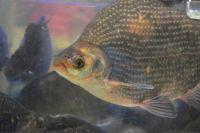 ブラジルは、淡水魚「ティラピア」の皮膚を使って火傷治療を行っている