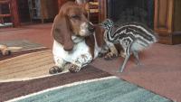 エミューの犬化。数匹のバセットハウンドと暮らすエミューの赤ちゃん