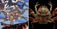 甲羅に人面を持つカニ、平家蟹が海外で特集されている件