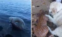 ためらうことなく海に飛び込み溺死寸前の小鹿を救ったゴールデンレトリーバー(カナダ)